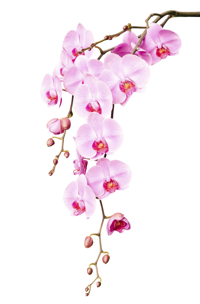 Big beautiful branch of pink orchid flowers with buds
