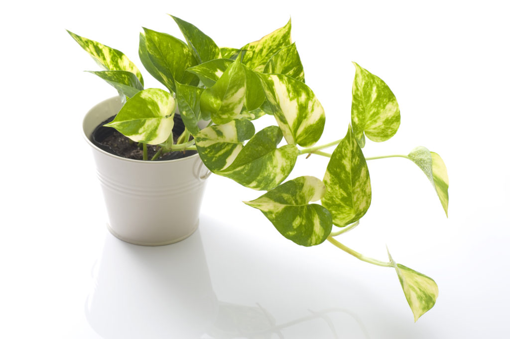 Pothos potted on a white background