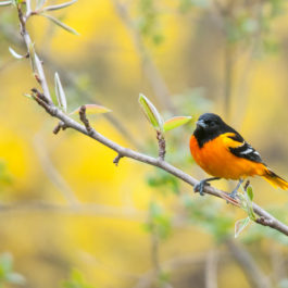 Baltimore Oriole perched on a branch during the spring migration.
